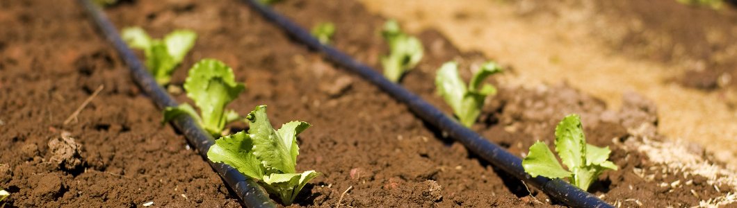 Sprouting-Seedlings-Next-to-Drip-Irrigation-Lines